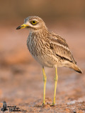 Adult Eurasian Stone-curlew