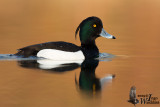 Adult male Tufted Duck in breeding plumage