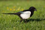 Adult Eurasian Magpie