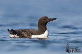 Adult Common Murre
