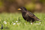 Adult Common Starling