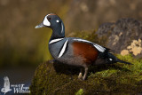 Adult male Harlequin Duck