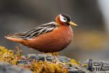 Adult female Red Phalarope in breeding plumage