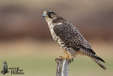 Immature Gyr Falcon