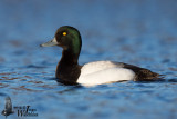 Adult male Greater Scaup (ssp. marila)