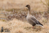 Adult Pink-footed Goose