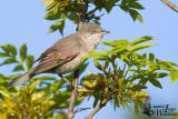 Adult male Barred Warbler