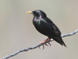 Common Starling, Sturnus vulgaris nobilior   Stare