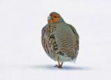 Grey Partridge (Rapphöna)