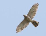 Levant Sparrowhawk (Balkanhök)