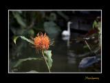 Nice nature fleur Phoenix IMG_9067.jpg