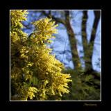 Nature fleur mimosa IMG_9660.jpg