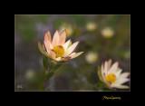 Nature fleur menton IMG_0017.jpg