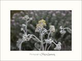 Nature fleur le�rins IMG_6290.jpg