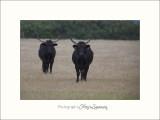 Nature Camargue animaux taureaux IMG_6959.jpg