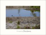 Nature Camargue oiseaux IMG_6566.jpg