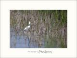 Nature Camargue oiseaux IMG_6641.jpg