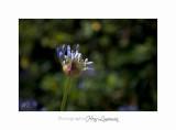 Nature fleur IMG_7791.jpg