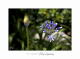 Nature fleur IMG_7792.jpg