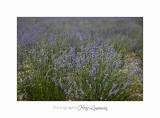 Nature Paysage Fleurs SALA IMG_8509.jpg