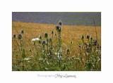 Nature Paysage Fleurs SALA IMG_8557.jpg