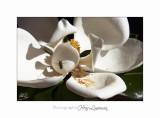 Nature fleur magniolia IMG_8217.jpg