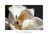 Nature fleur magniolia IMG_8235.jpg