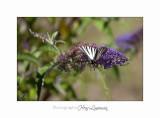 Nature animal Jardin Papillon IMG_8261.jpg