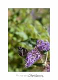 Nature animal Jardin Papillon IMG_8304.jpg