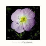 Nature fleur MIP IMG_0446.jpg