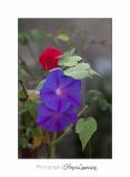 Fleur Ile Ste Marguerite IMG_0956.jpg