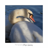 Nature animal cygne Phoenix IMG_2151.jpg