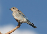 Mountain Bluebird; juvenile