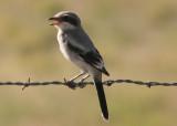 Loggerhead Shrike; juvenile