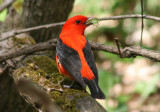 Tanagers and Blackbirds