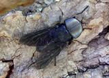 Tabanus atratus; Black Horse Fly; male