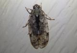 Melanoliarus Cixiid Planthopper species