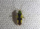 Reuteroscopus ornatus; Ornate Plant Bug