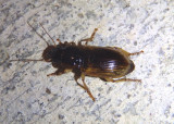 Anisodactylus sanctaecrucis; Ground Beetle species