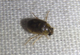 Berosus Water Scavenger Beetle species