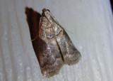 5659 - Acrobasis palliolella; Mantled Acrobasis