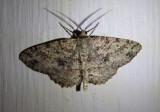 6620 - Melanolophia canadaria; Canadian Melanolophia