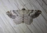 6352 - Macaria granitata; Granite Moth