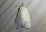 3725 - Cenopis pettitana; Maple-Basswood Leafroller