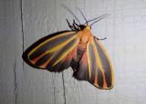 8090 - Hypoprepia fucosa; Painted Lichen Moth