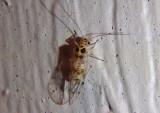 Teliapsocus conterminus; Barklouse species