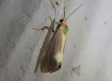 8067 - Cisthene plumbea; Lead-colored Lichen Moth