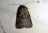 9035 - Hyperstrotia nana; White-lined Graylet Moth
