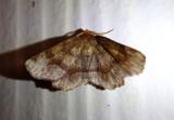6821-6833 - Metarranthis Geometrid Moth species