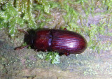 Uloma impressa; Darkling Beetle species